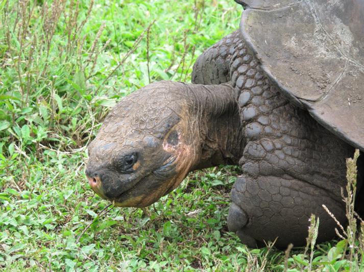 Galapagos_Schildkroete